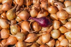 Zwiebelsämlinge mit einer roten Zwiebel, die heraus gegen gelbe Zwiebeln steht Lizenzfreies Stockfoto