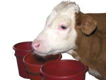 Zwierzęta Gospodarskie - Łydkowa krowa odizolowywająca na białym tle fotografia royalty free