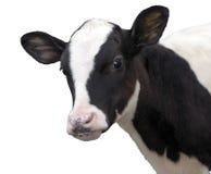Zwierzęta Gospodarskie - Łydkowa krowa odizolowywająca na białym tle zdjęcie stock
