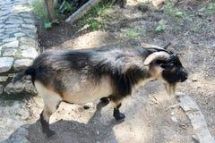 Zwierzęta na wyspie Capri koza zdjęcie royalty free