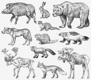 zwierzęta ustawiają dzikiego Brown grizzly niedźwiedzia łosia amerykańskiego Czerwonego Fox knura Lasowego Północnego Wilczego So ilustracji