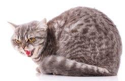 Zwierząt domowych, zwierząt i kotów pojęcie, - Purebred Brytyjski kot na białym tle zdjęcia royalty free