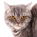 Zwierząt domowych, zwierząt i kotów pojęcie, - Purebred Brytyjski kot na białym tle zdjęcia stock