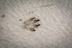 Zwierzę, łapa druk na piaskowatej plaży obrazy royalty free