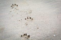 Zwierzę, łapa druk na piaskowatej plaży fotografia royalty free