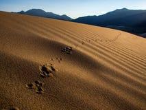 Zwierzę ślad w piasku - Wielki piasek diun park narodowy Zdjęcia Royalty Free