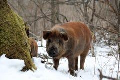 Zwierzę: Świniowaty Jilin lasu region Zdjęcie Royalty Free