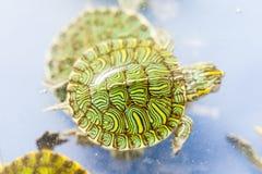 Zwierzę domowe żółw Zdjęcie Royalty Free