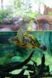 Zwierzę domowe żółw na akwarium Obraz Royalty Free