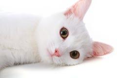 zwierzę domowe biel fotografia royalty free