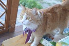 Zwierzę domowe: ciekawy imbirowy kot obrazy royalty free
