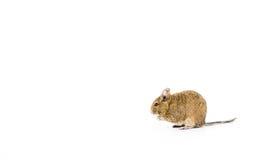 Zwierzę domowe Degu Fotografia Stock