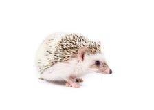 Zwierzę domowe jeż Zdjęcia Stock