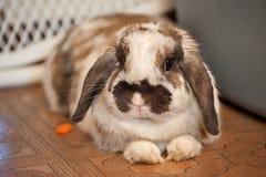 Zwierzę domowe królik Obraz Royalty Free