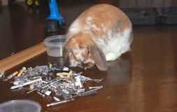 Zwierzę domowe królik Obrazy Royalty Free
