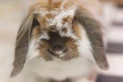 Zwierzę domowe królik Fotografia Stock
