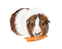 Zwierzę domowe królika doświadczalnego łasowania marchewka Obraz Stock