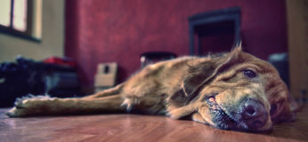 Zwierzę domowe pies odpoczywa na podłoga Fotografia Stock