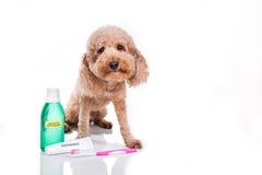 Zwierzę domowe pies z toothbrush, pasta do zębów i mouthwash opieki oralnym conn, Obraz Stock