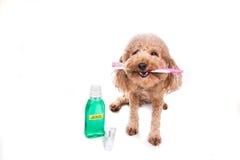 Zwierzę domowe psa mienia toothbrush z pasta do zębów oralny ca i mouthwash Obrazy Stock