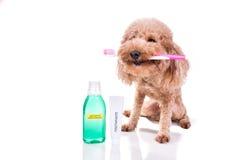 Zwierzę domowe psa mienia toothbrush z pasta do zębów oralny ca i mouthwash Obraz Royalty Free