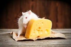 Zwierzę domowe szczur z wielkim kawałkiem ser Obrazy Royalty Free