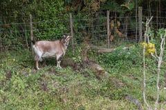 Zwierzę domowe trawy łasowania kózka fotografia royalty free