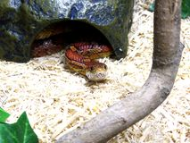 Zwierzę domowe węża coiled up patrzeć prosto naprzód fotografia royalty free