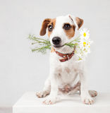 Zwierzę domowe z bukietem kwiaty w zęby obraz royalty free