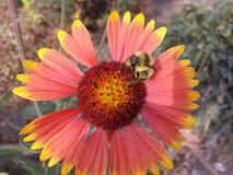 Zwierzę, jesień, piękna, piękno, pszczoła, okwitnięcie, mamrocze, bumblebee, zbliżenie, kolor kwiecisty, kolorowy, kwitnie, kwiat Zdjęcia Stock