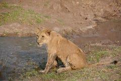 zwierzę jest blisko lwem zrobił zdjęcia parkowemu safari bardzo Obrazy Stock