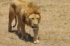 zwierzę jest blisko lwem zrobił zdjęcia parkowemu safari bardzo Zdjęcie Stock