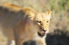 zwierzę jest blisko lwem zrobił zdjęcia parkowemu safari bardzo Obraz Stock