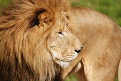 zwierzę jest blisko lwem zrobił zdjęcia parkowemu safari bardzo Obraz Royalty Free