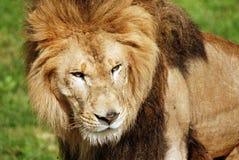 zwierzę jest blisko lwem zrobił zdjęcia parkowemu safari bardzo Zdjęcia Royalty Free