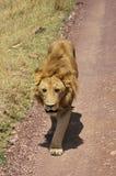 zwierzę jest blisko lwem zrobił zdjęcia parkowemu safari bardzo Fotografia Royalty Free