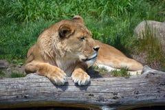 zwierzę jest blisko lwem zrobił zdjęcia parkowemu safari bardzo Obrazy Royalty Free