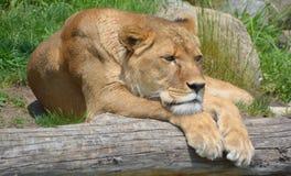 zwierzę jest blisko lwem zrobił zdjęcia parkowemu safari bardzo Fotografia Stock