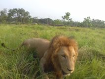 zwierzę jest blisko lwem zrobił zdjęcia parkowemu safari bardzo Zdjęcie Royalty Free