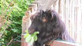 Zwierzę kózka je liście zdjęcie wideo
