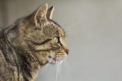 zwierzę kota blisko składowania portret ilustracyjny, Zwierzęcia domowego zwierzę Obraz Stock