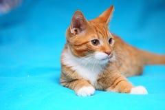 Zwierzę kota zwierzęcia domowego czerwona śliczna mała kiciunia na łóżku w domu - Zdjęcia Stock