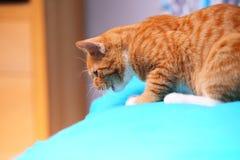 Zwierzę kota zwierzęcia domowego czerwona śliczna mała kiciunia na łóżku w domu - Zdjęcie Stock