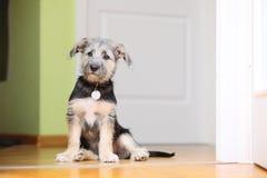 Zwierzę psa zwierzęcia domowego mutt szczeniaka obsiadanie na podłoga w domu Obrazy Royalty Free