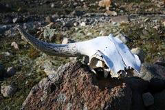 zwierzę uzbrajać w rogi czaszka kamień Fotografia Royalty Free