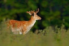 Zwierzę w lasowego Bellow ugorów majestatycznym potężnym dorosłym rogaczu, Dama dama w jesień lesie, Dyrehave, Dani, przyrody sce Fotografia Stock