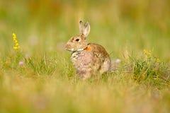 Zwierzę w natury siedlisku, życie w łące, Niemcy Europejski królik lub błonie królik, Oryctolagus cuniculus, chujący w gras Obrazy Royalty Free
