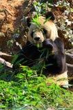 zwierzę zagrażająca gigantyczna panda Fotografia Royalty Free
