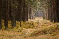 Zwierzęca ścieżka w pinewood fotografia royalty free
