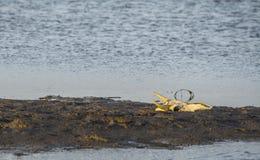 Zwierzęca czaszka dalej z wodą Obrazy Royalty Free